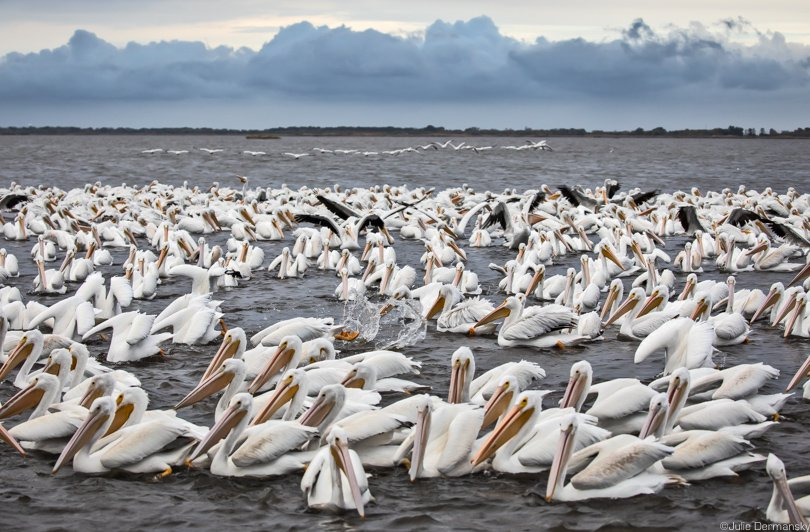 White pelicans fishing off Island Road. The plentiful seafood is one of the Isle de Jean Charles' perks.