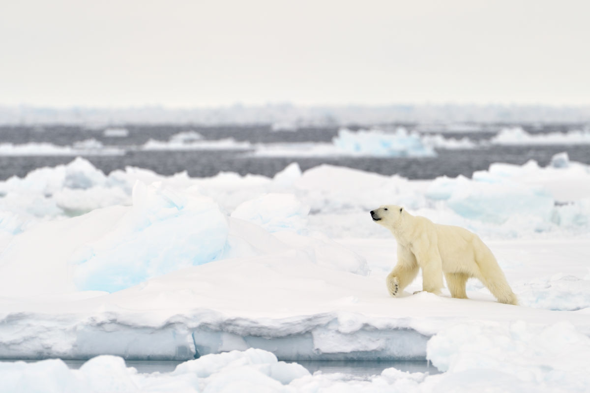 """A polar bear walks on a melting ice floe in Baffin Bay, Nunavut, Canada. """