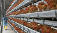 A worker in a blue smock looks at rows and rows of chickens in cages