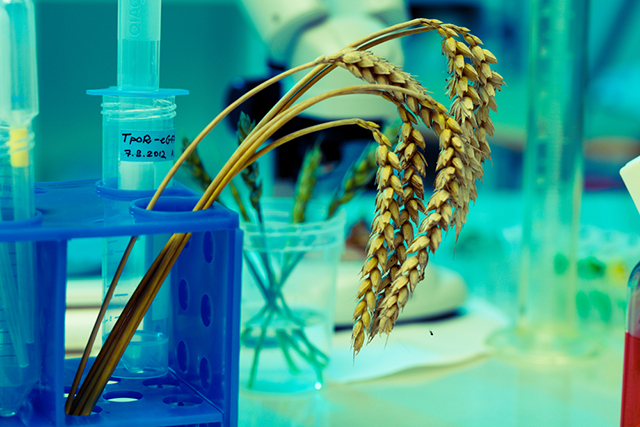 If public morality justifies a national ban on GM food, why is no such ban required for GM feed and GM crops also? (Photo: GMO Wheat via Shutterstock)